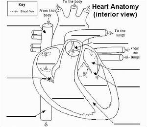 Blank Heart Diagram To Label Labled Diagram Word Wiring