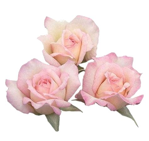 Pin by バラ dosita on pink fillers Pink rose png Flowers