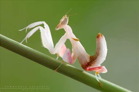 orkhideynyy bogomol lat hymenopus coronatus interesnye