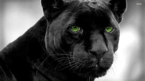 Black Panther Animal Wallpaper - black panther animal black jaguar animal wallpaper