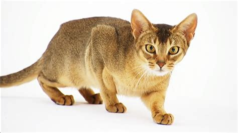 cat breeds abyssinian cat pictures and information cat breeds