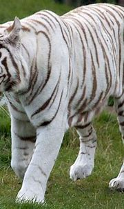 White tiger - Our Planet