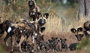 86 best Africa's Painted Dogs images on Pinterest | Wild ...