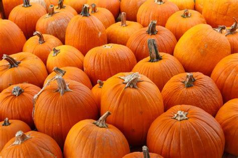 orange pumpkins background  stock photo public