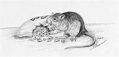 Rat Rats Drawing Eating Control Kitchen