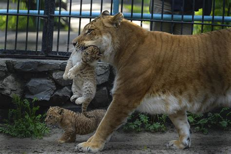 liger liliger zoo tiger cubs novosibirsk lioness lion cub half russia rare russian baby born carries month animal tuesday litter