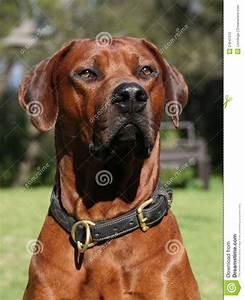 Rhodesian Ridgeback male stock photo. Image of typical ...