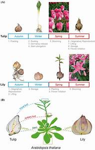 Life Cycle And Architecture Of Tulip And Lily Bulbs  A