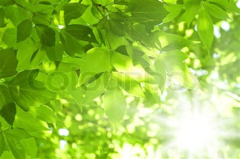 Beautiful green leaves and bright sun   Stock image ...