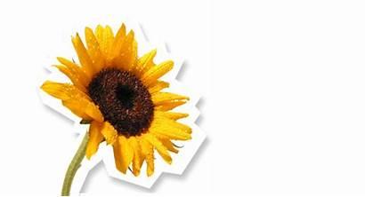 Garden Sunflower Yellow Supplies Farmers