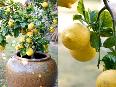 container gardening how to grow lemon fruit trees in