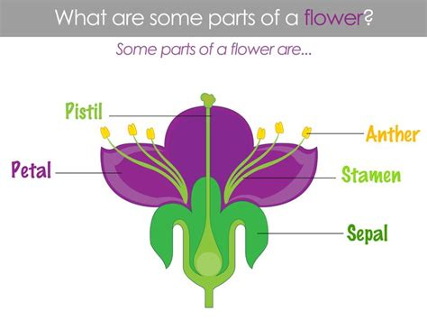 Classical Conversations Cycle 1 Week 11 Scienceparts Of A Flower  Classical Conversations