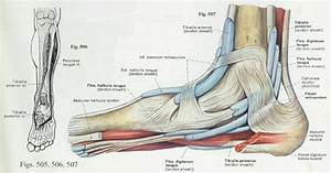 Foot  Anatomy   Bones  Ligaments  Muscles  Tendons  Arches And Skin