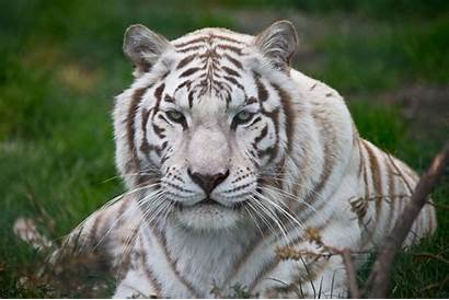 Tiger Wallpapers Backgrounds Scaled Gruden Jon Animals