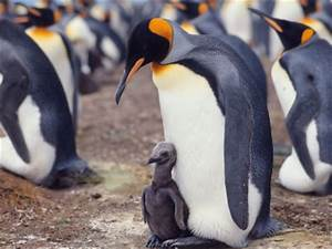 The king penguin is the 2nd largest penguin in the world ...