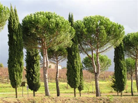 tuscan tree types debra prinzing 187 post 187 a tree obsession or should i say
