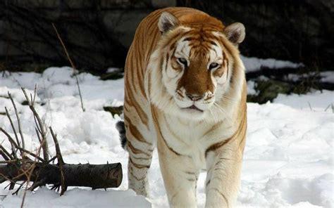 Best Maltese Tiger Images Pinterest Blue Tigers