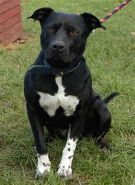 american staffordshire terrier hunderasse  hundeseitede