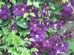 Clematis Pflanzen Kübel : waldrebe arten clematis pflanze sorten k bel ~ Orissabook.com Haus und Dekorationen