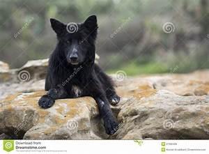 Black Wolf Dog Royalty Free Stock Photos - Image: 27582428