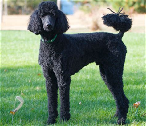 poodles  style