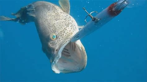 grouper trolling hammour fishing another