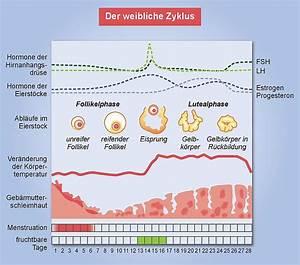 Fruchtbare Tage Berechnen Unregelmäßiger Zyklus : der weibliche zyklus ptaheute ~ Themetempest.com Abrechnung