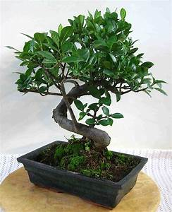 Gardenie carmens bonsai garten online shop fur bonsai for Whirlpool garten mit bonsai samen shop