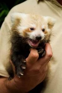 Baby red panda | Red Pandas | Pinterest