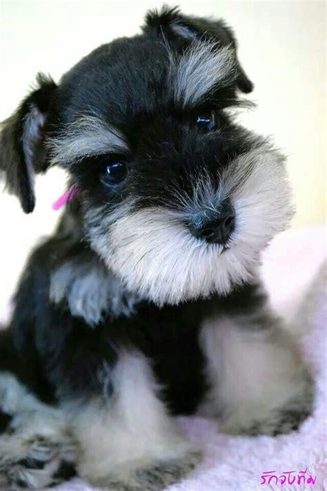 Miniature Schnauzer as Puppies