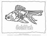 Coloring Fish Goldfish Outline Animal Drawing Span Coat Printable Blank Popular Albuns Recomendadas Coloringhome sketch template