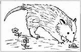 Opossum Joeys sketch template