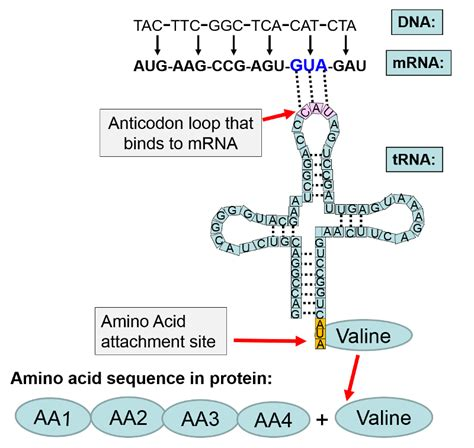 The Enzyme Uses Atp To Unwin Dna Template by Unit C Dna Enzymes Ms Ulrich S Class Site