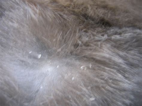 dog dandruff  flea eggs