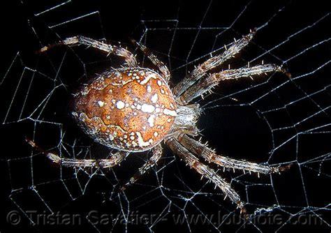 european garden spider  web macro