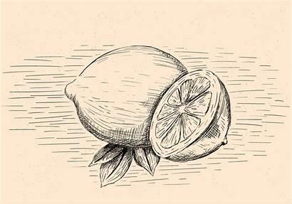 Illustration Drawn Hand Lemon Vector Vectors
