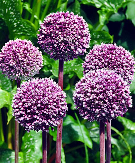 allium bulbs allium summer drummer flower bulbs from bakker com