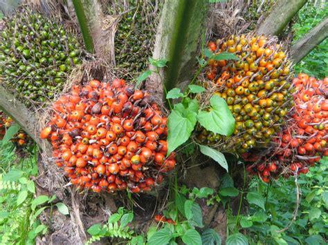 bibit buah jambu pohon pisang related keywords pohon pisang