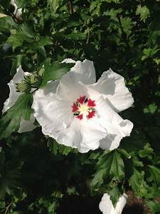 Was Blüht Jetzt Im Garten : es bl ht ein bl hender strauch in unserem garten garten ~ Lizthompson.info Haus und Dekorationen