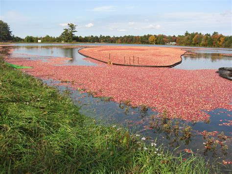 Buckeye Lake's Floating Cranberry Island  Lake Scientist