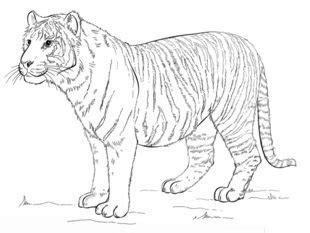 jak narysowac tygrysa krok po kroku rysowanie tygrysa