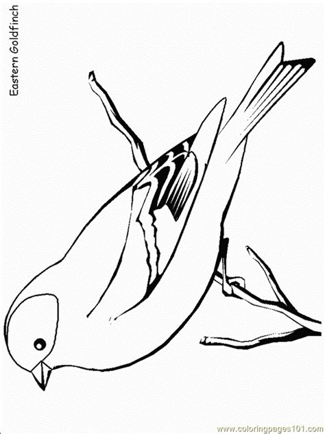 easterngoldfinch coloring page  finch coloring pages