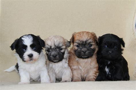 Maltese Shih Tzu Puppy 28 Images Top 32 Small Dogs Who Make Good