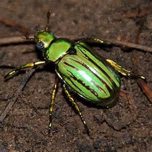 Iridescent green beetle - Chrysina gloriosa - BugGuide.Net