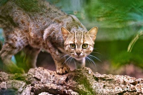 cat rusty spotted cats kittens prionailurus phylum rubiginosus baby chordata