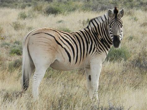 ridden zebra horse