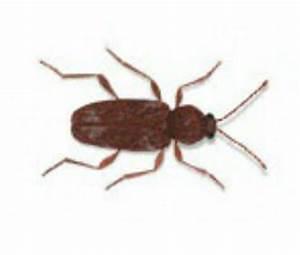 Käfer In Der Wohnung Bestimmen : vorratssch dlinge k fer erkennen rentokil sch dlingsbek mpfung ~ Eleganceandgraceweddings.com Haus und Dekorationen