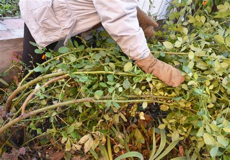 pruning climbing roses winter how to prune roses 101 protect your roses for winter