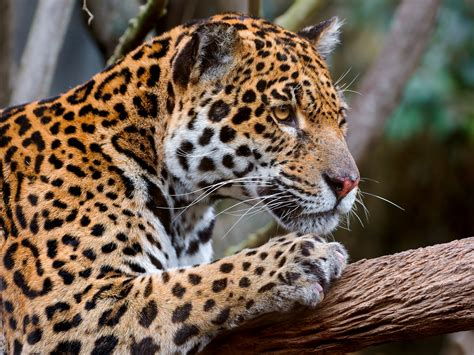 What Humanity Can Gain From Jaguar Conservation The