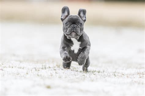 blue french bulldog breed info    facts
